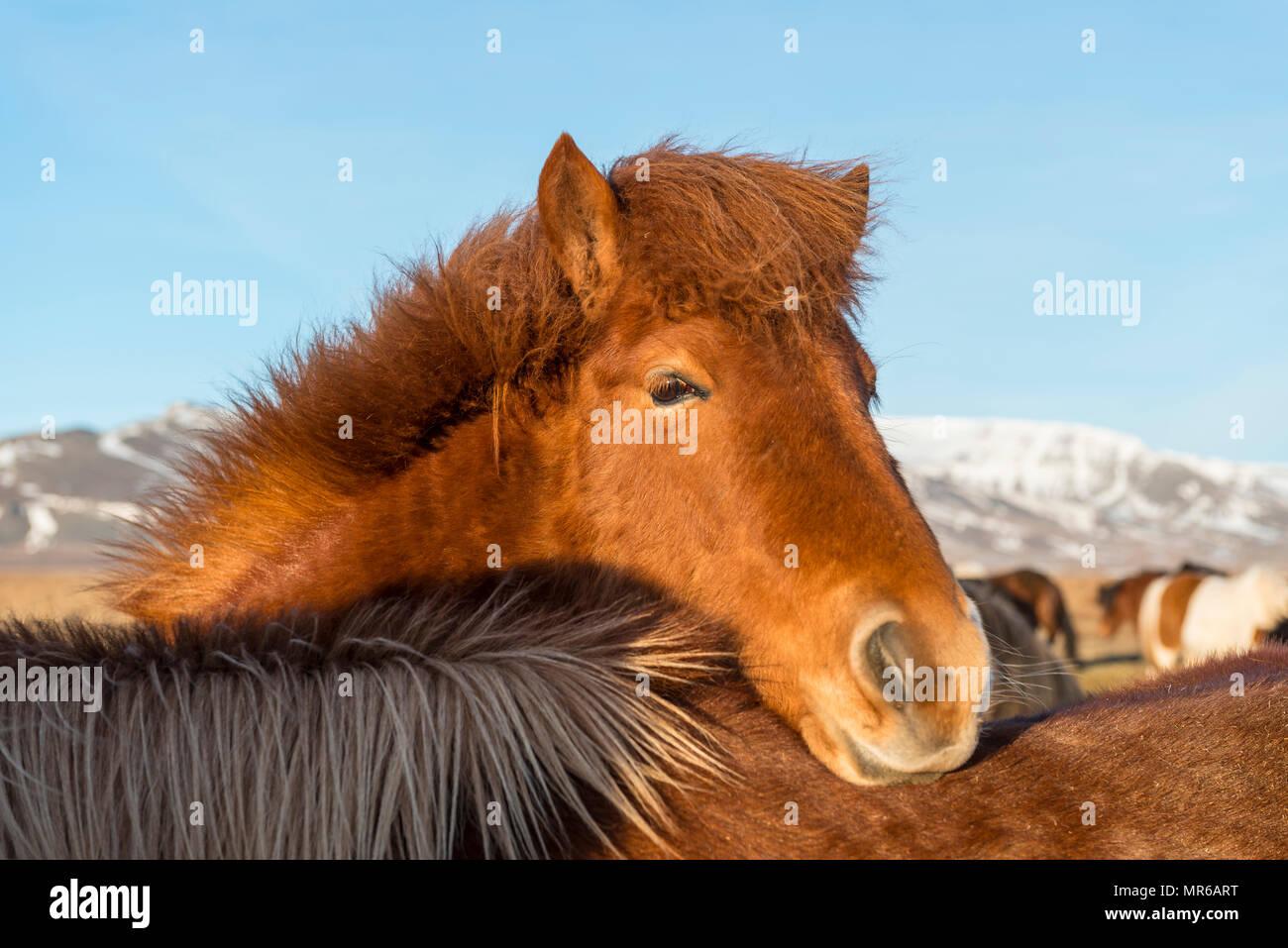 Isländische Pferd (Equus przewalskii f. caballus) setzt den Kopf über ein anderes Pferd, Tier Portrait im südlichen Island, Island Stockbild