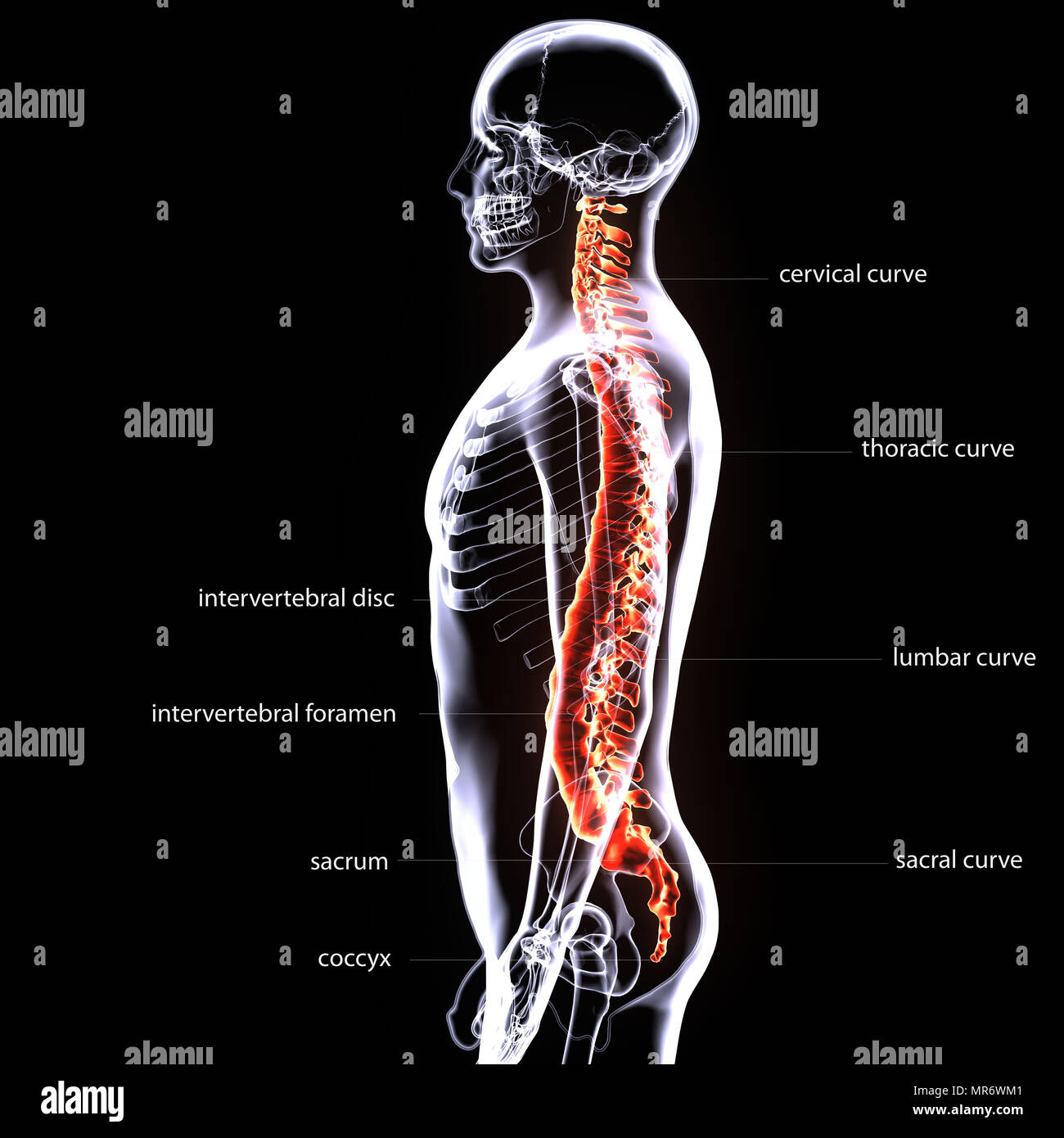 3D-Darstellung des menschlichen Körpers Schädel und Rückenmark ...
