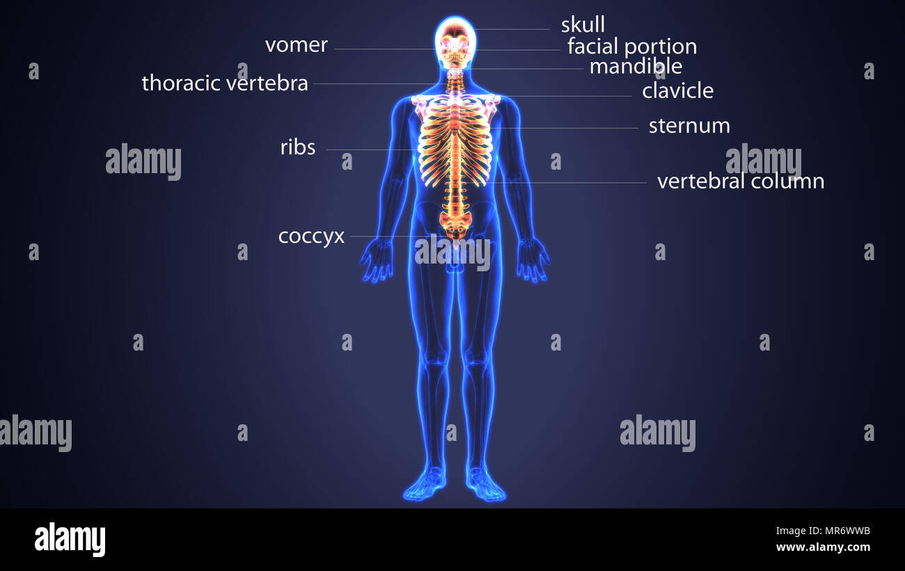 3d-Abbildung der menschlichen Schädel und Knochen der Wirbelsäule ...