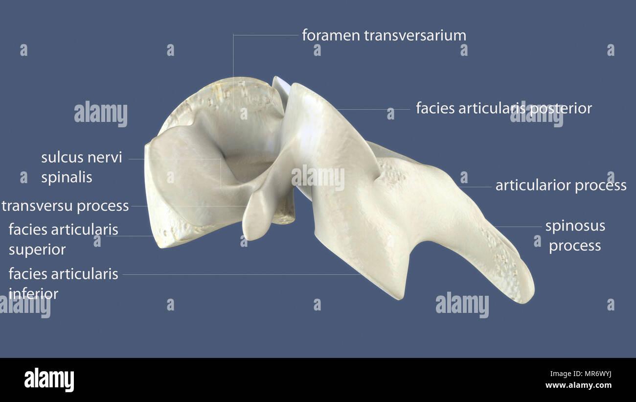 3D-Darstellung des menschlichen Körpers Wirbelsäule Knochen Anatomie ...