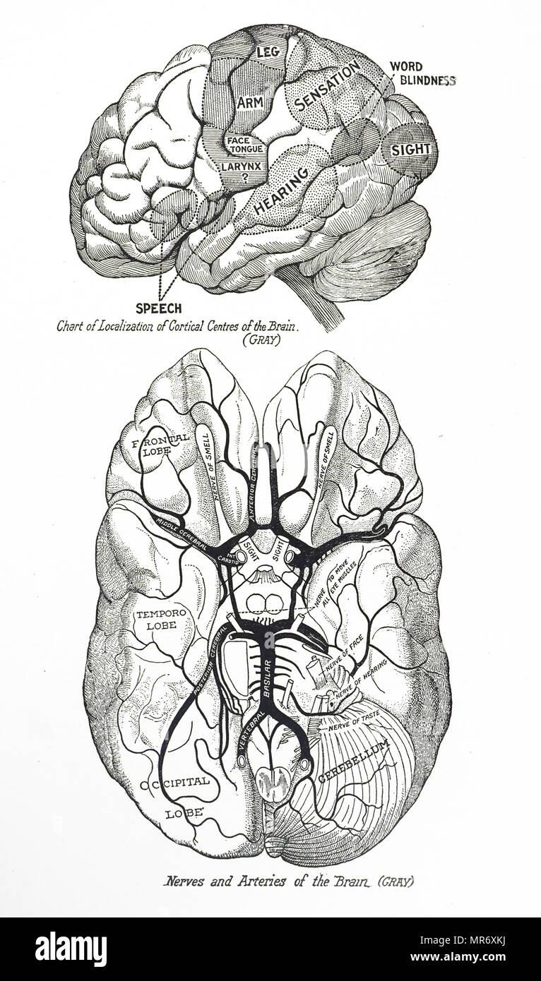 Kupferstich mit der Darstellung eines menschlichen Gehirns. Top ...