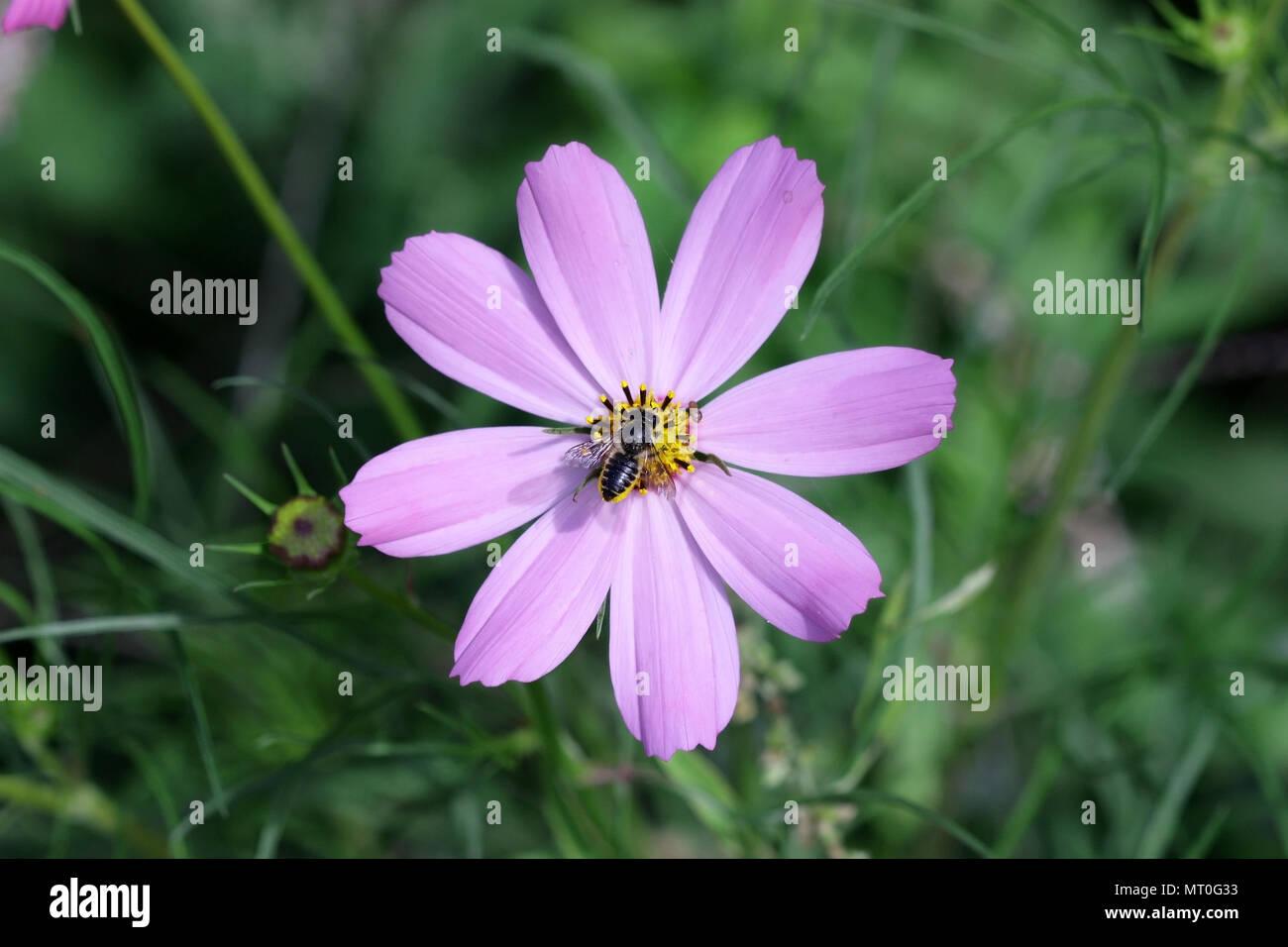 Biene auf der Blume Kosmos von leicht lila Farbe auf ein grünes Gemüse Hintergrund es horizontal ist. Close Up. Makro. Familie der Asteraceae Stockbild