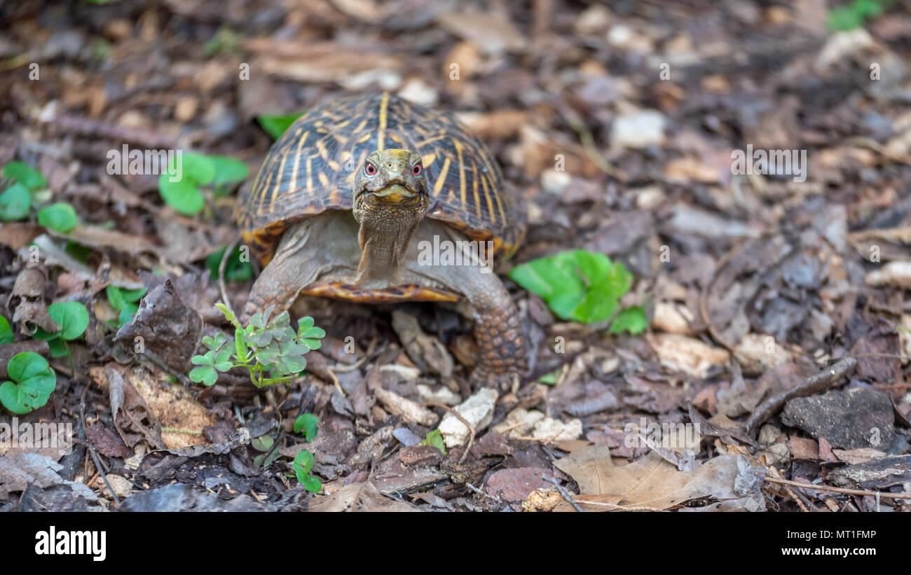 Kleine schildkröte mit roten augen schauen direkt in die kamera