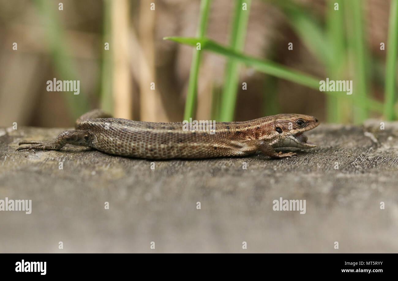 Eine atemberaubende Gemeinsame Lizard (Zootoca Vivipara) Jagd auf einen Holzsteg mit seinen Mund geöffnet, die Zunge zu zeigen. Stockfoto