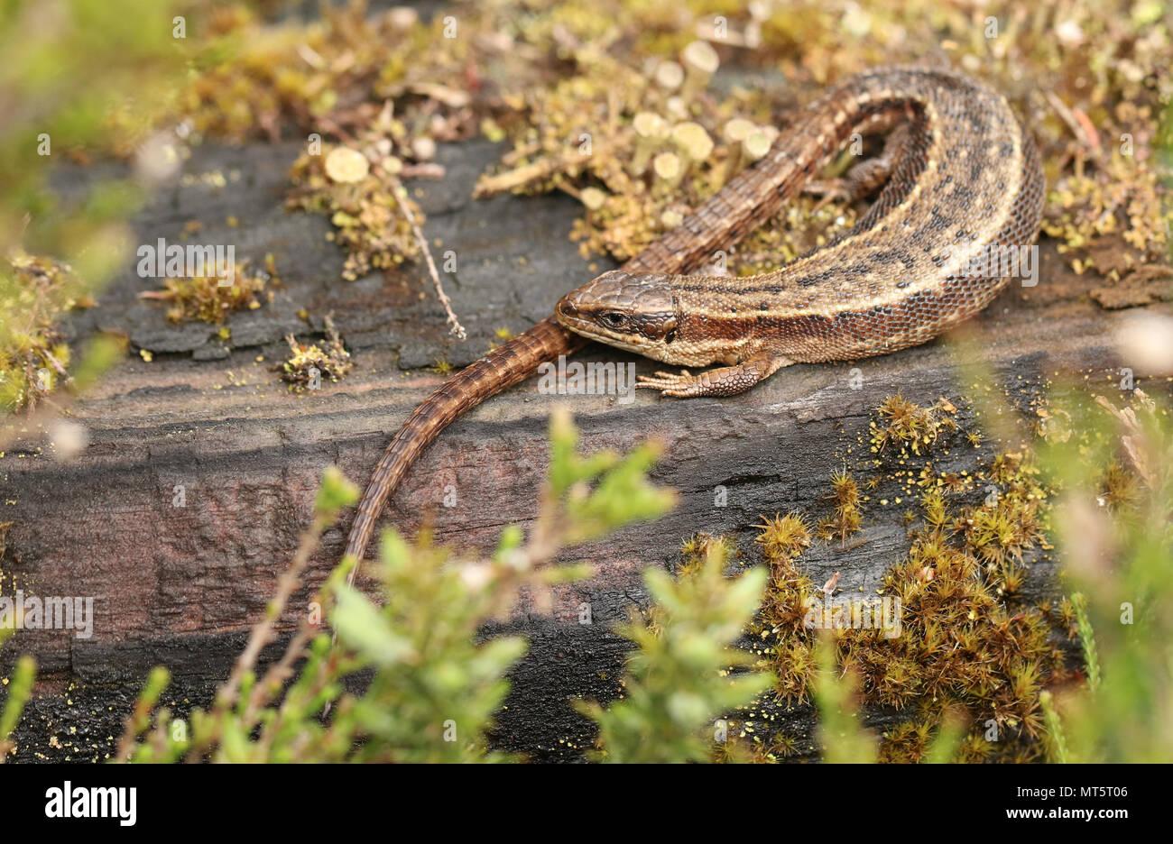 Eine atemberaubende Gemeinsame Lizard (Zootoca Vivipara) Erwärmung auf einem anmelden. Stockfoto