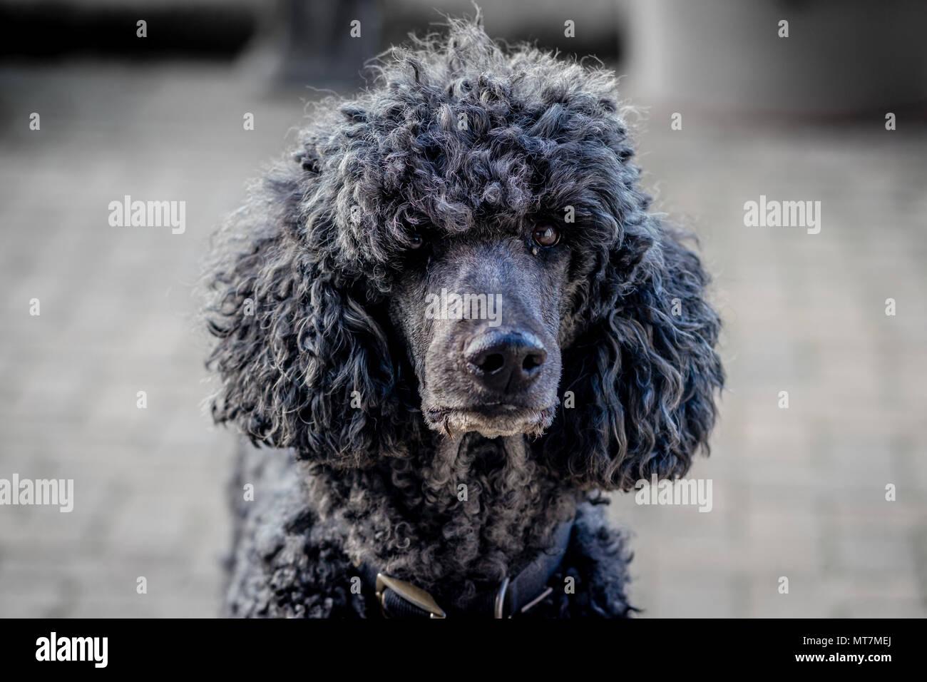 Von hinten beleuchtete große collared schwarz standard poodle Dog mit natürlichen Fell starrte direkt auf die Kamera unter Terrasse - Porträt Porträt Stockbild