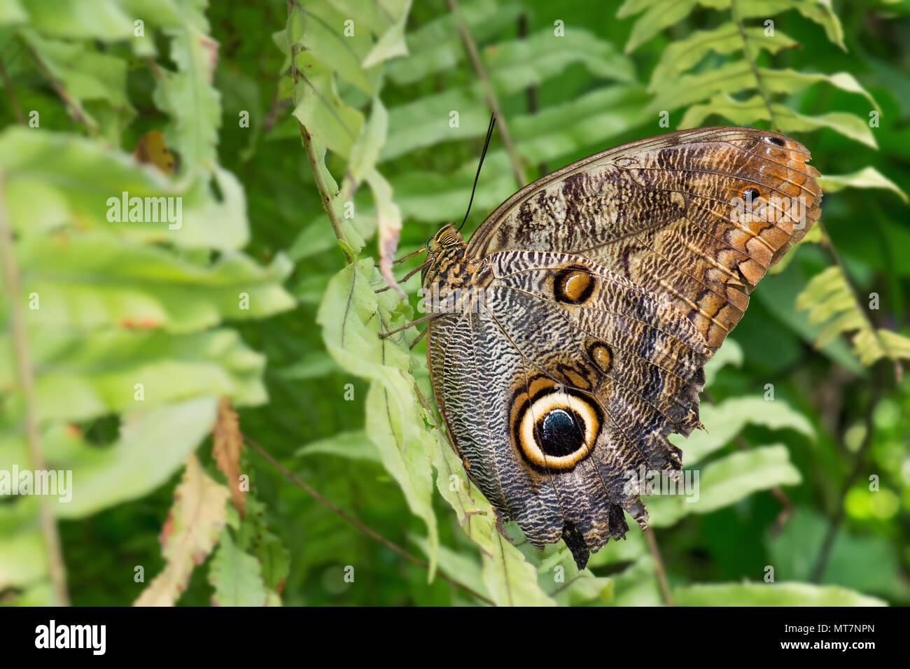 Wald Riesen Eule - Caligo eurilochus, schöne große Schmetterling aus Mittel- und Südamerika Wälder. Stockbild