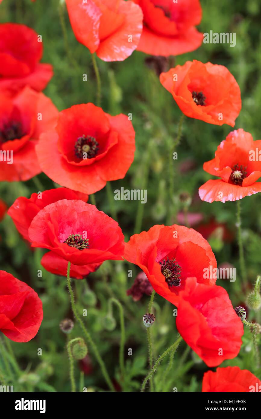 Mohnblume-Feld Stockbild