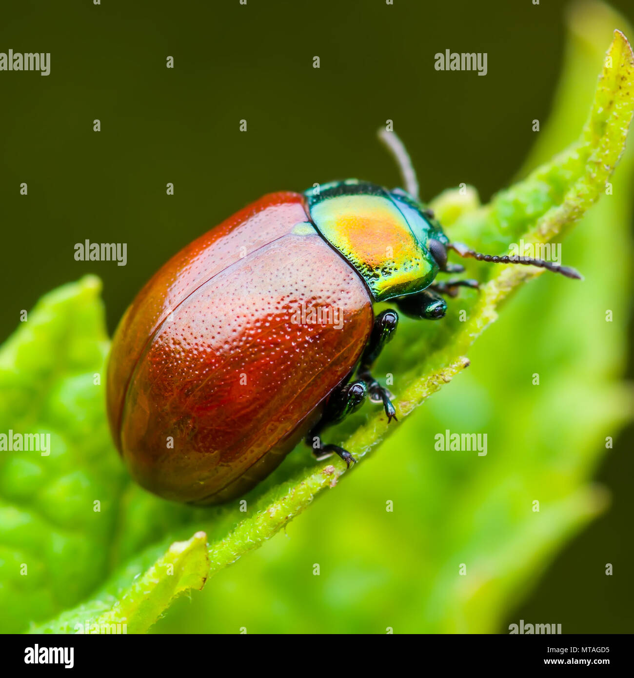 Chrysolina Coerulans Rot Minzeblatt käfer insekt kriecht auf grünem Blatt Makro Stockbild