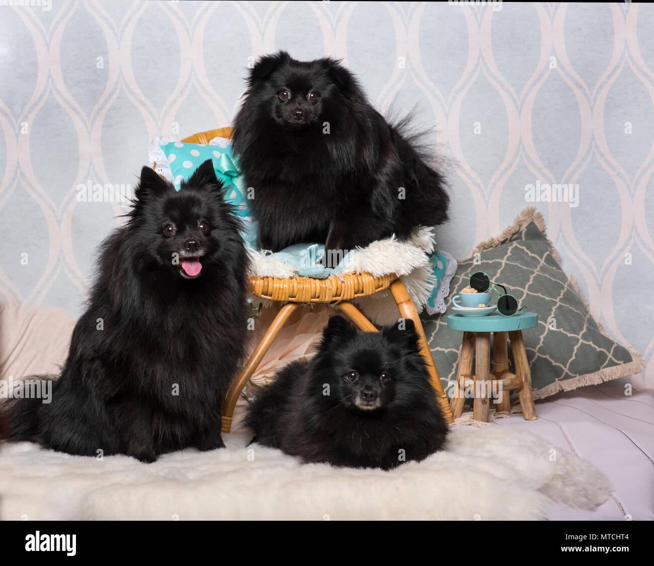 Schwarzer Deutscher Wachtelhund Hunde Sitzen Auf Stuhl Im Studio