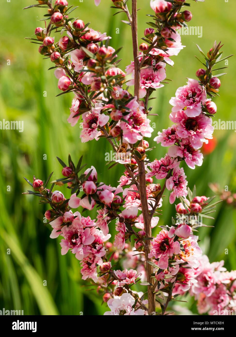Doppelzimmer Rosa Formular der Neuseeland Manuka oder Teebaum, Leptospermum scoparium, Blüte im Frühsommer Stockbild