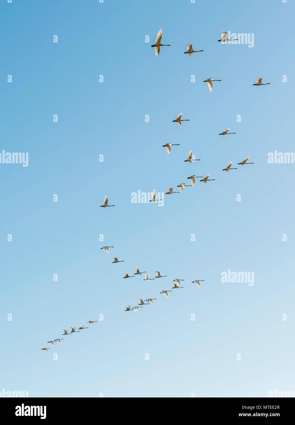 Scharen von Vögeln, Fliegen gehören Singschwan (Cygnus Cygnus), die sich in der Ausbildung befinden, South Island, Island Stockbild