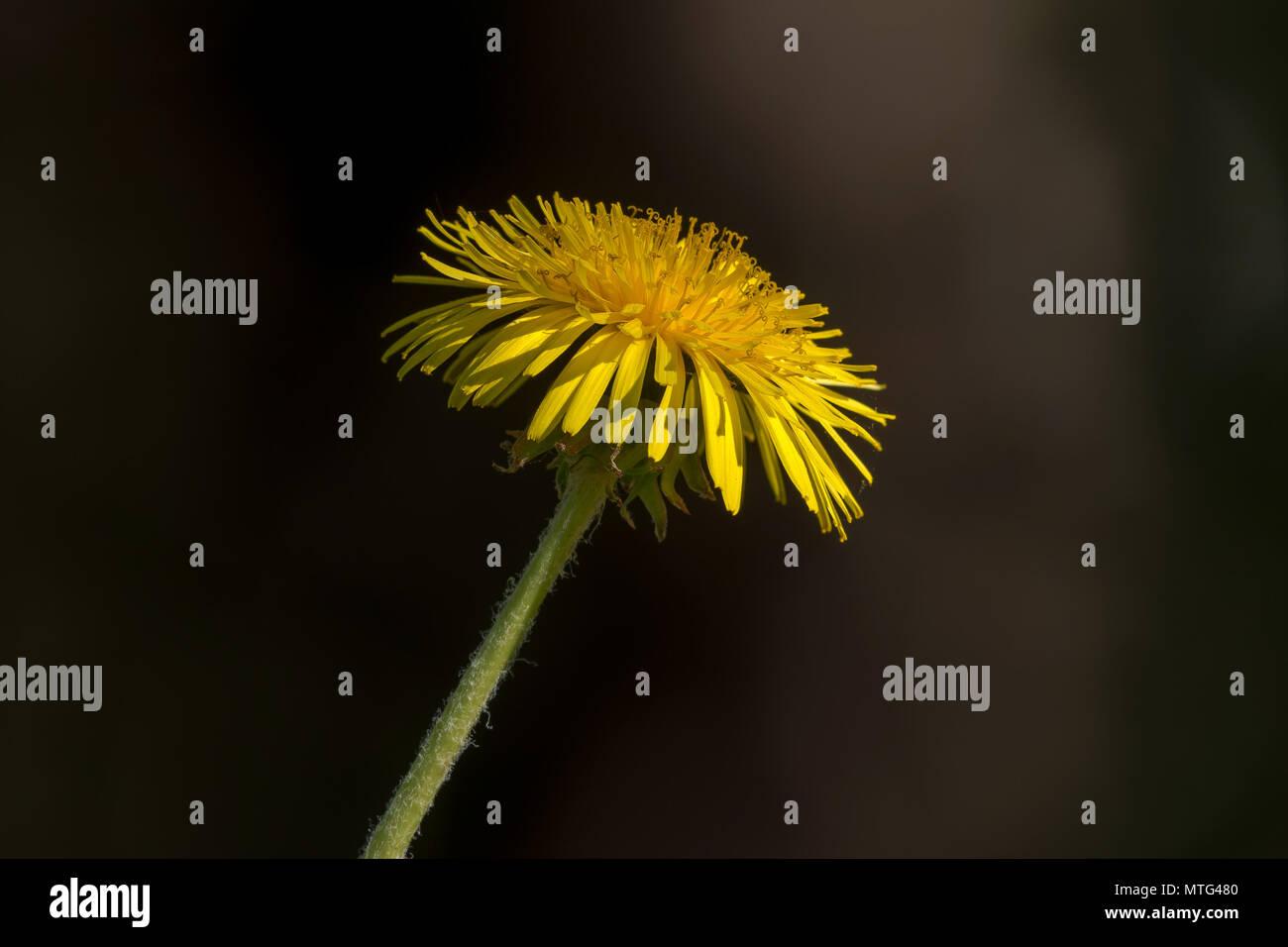 Seitenansicht Makro einer gelben Löwenzahn sehr detailliert, dunklen Hintergrund. Schweden Stockbild