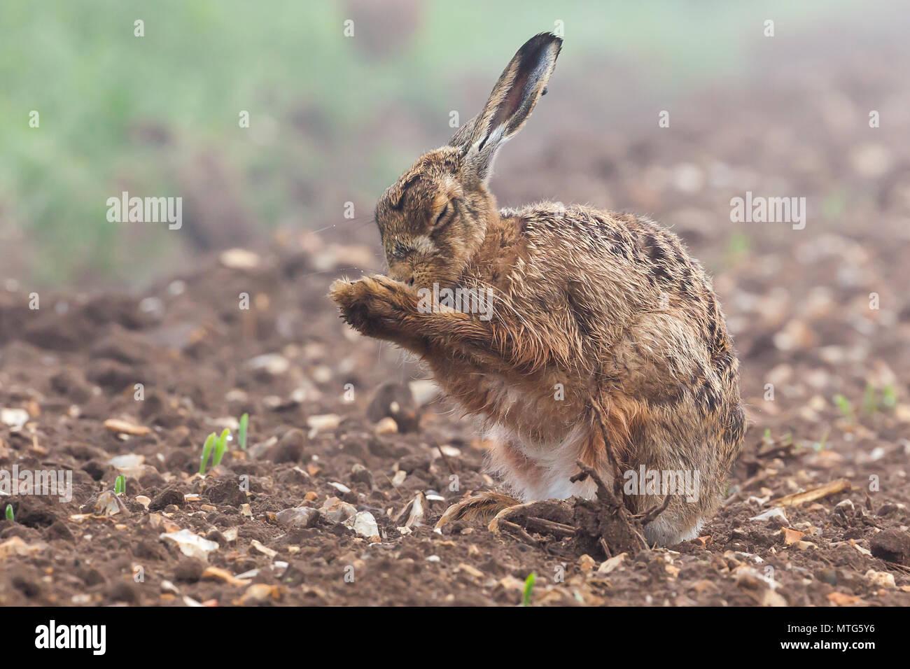 Wild Feldhase mit geschlossenen Augen, mit einem Morgen waschen in einem Feld mit Getreide gerade beginnen zu wachsen. Naturen, die blanken Flächen Boden mit einem pelzigen Tier cl Stockbild