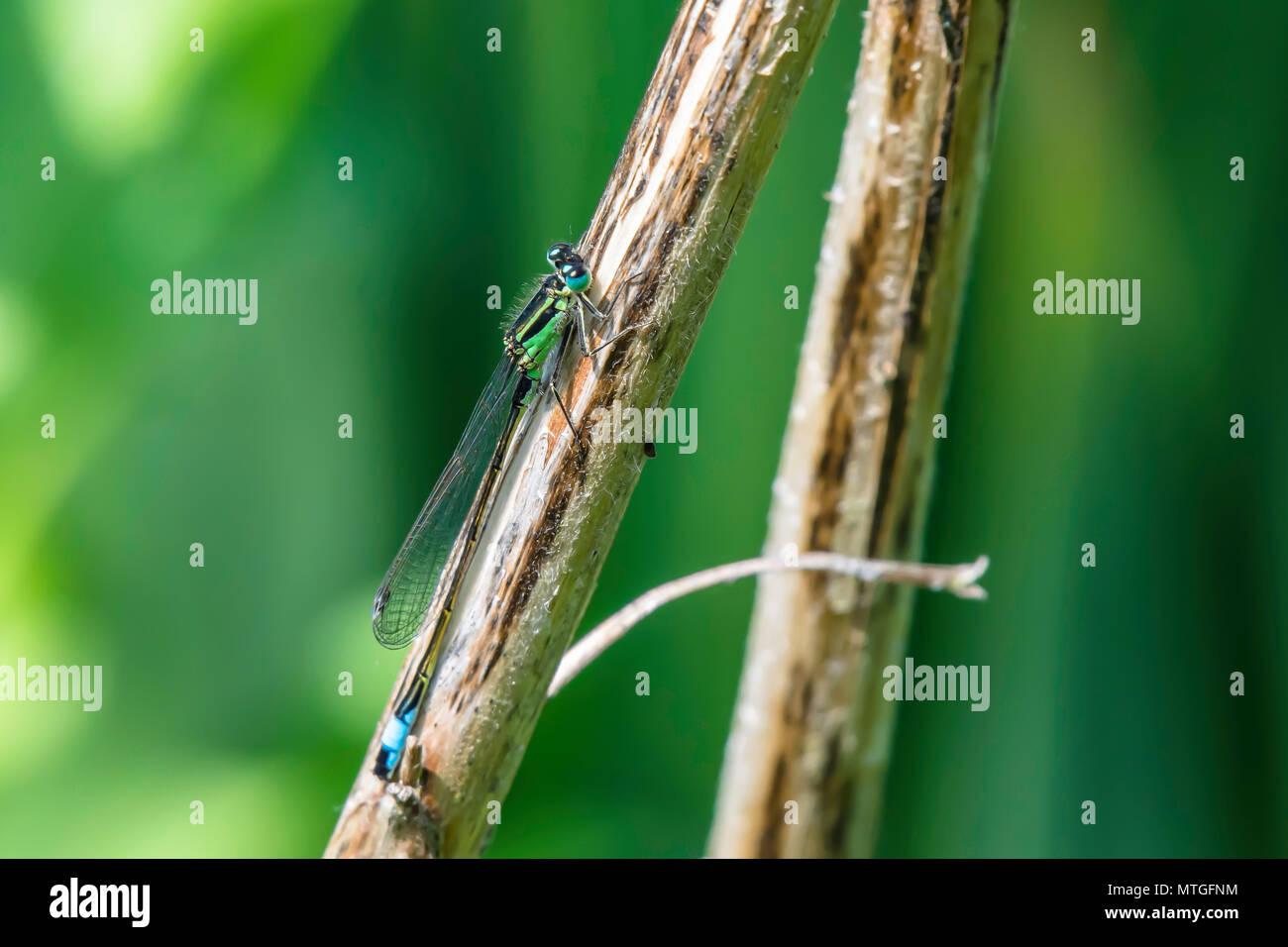 Emerald damselfly sitzen auf dem Trockenen Zweig in der Nähe von Westport See, Stoke-on-Trent, Großbritannien. Frühjahr 2018. Natürliche Welt Erhaltung. Natur Uk. Wildlife Uk. britischen Insekt. Stockfoto