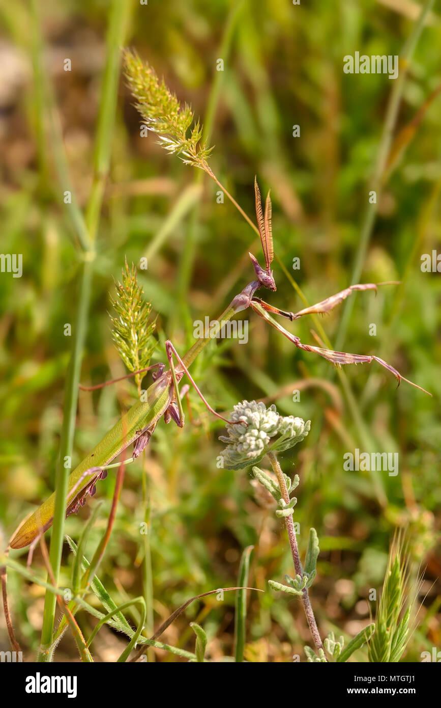 Empusa fasciata ist eine Pflanzenart aus der Gattung der Gottesanbeterin in der Gattung Empusa in der Reihenfolge Mantodea, vom westlichen Asien an der nordöstlichen Küste von Italien gefunden, Stockbild