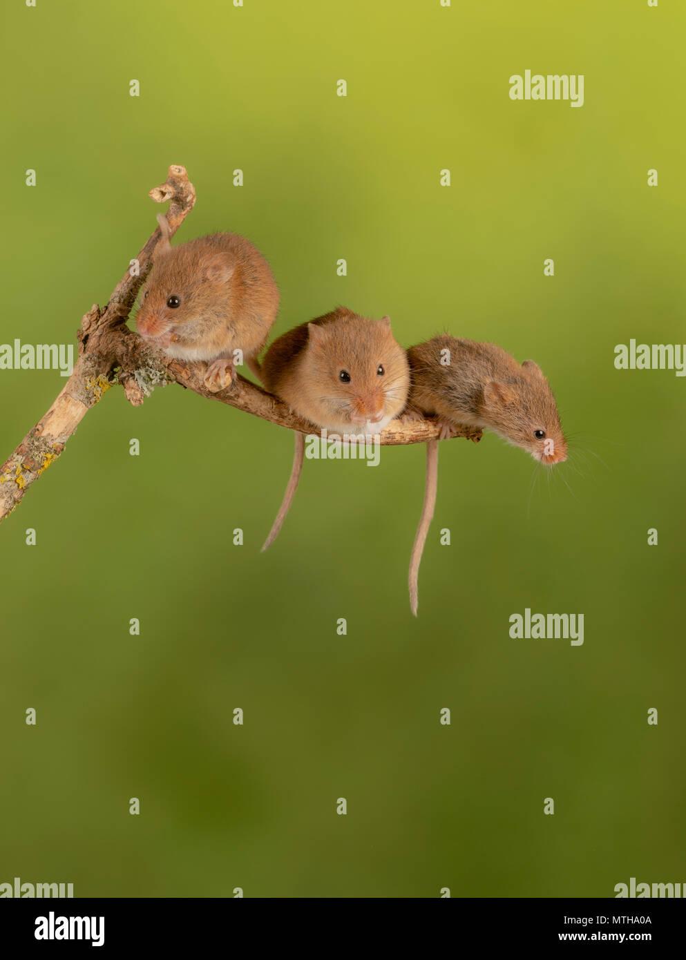 Trio der Heilung Ernte Mäuse sitzen auf einem Ast Stockbild