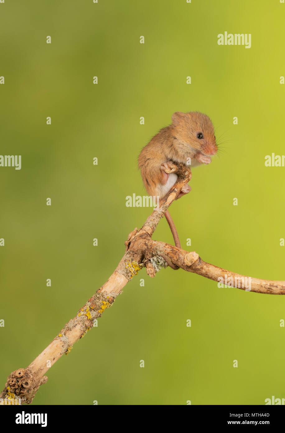 Ernte Maus klettern in ein Studio einrichten Stockbild