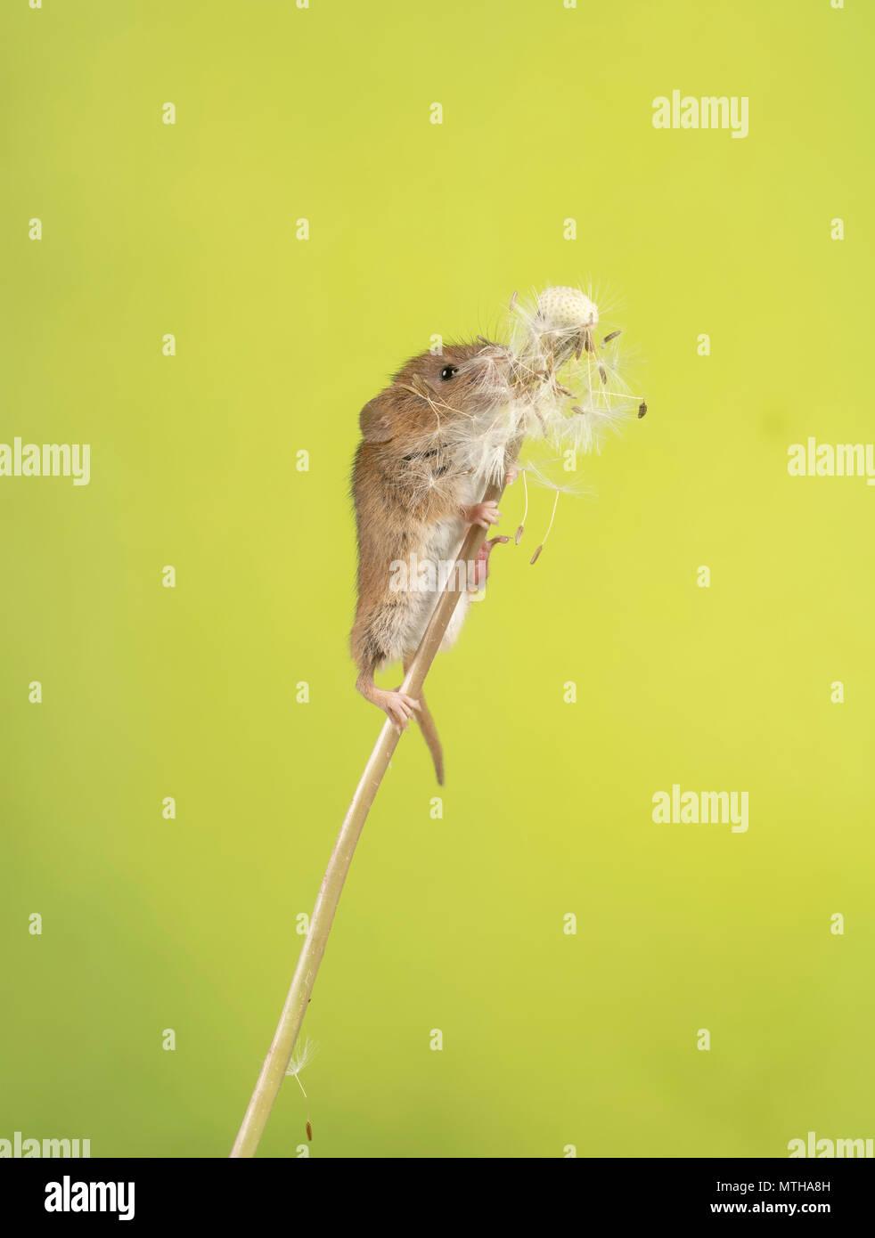 Eine Ernte Maus klettern auf und essen ein Löwenzahn Stockbild