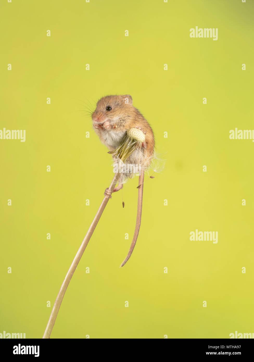 Eine Ernte Maus klettern auf und essen ein Löwenzahn Stockfoto