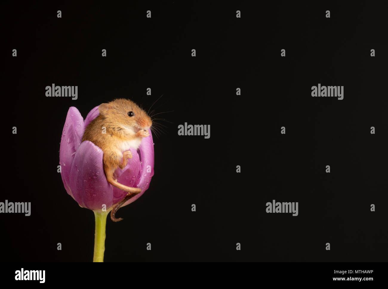 Ernte Maus in einer lila Tulpe in einer Einstellung Studio sitzen Stockbild