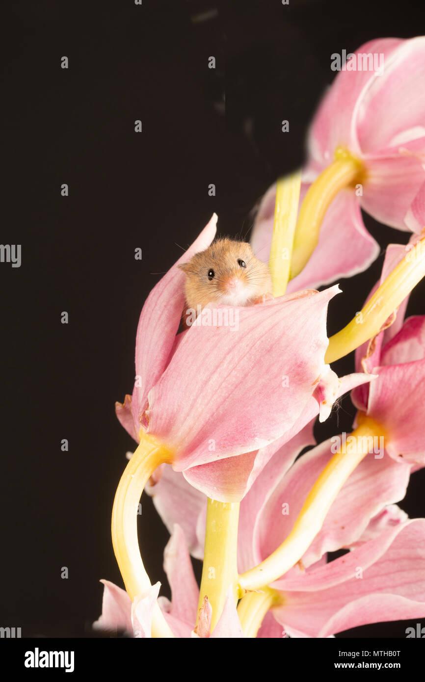 Eine kleine Ernte Maus durch eine rosa Orchidee in einem Studio Einstellung spannen Stockfoto