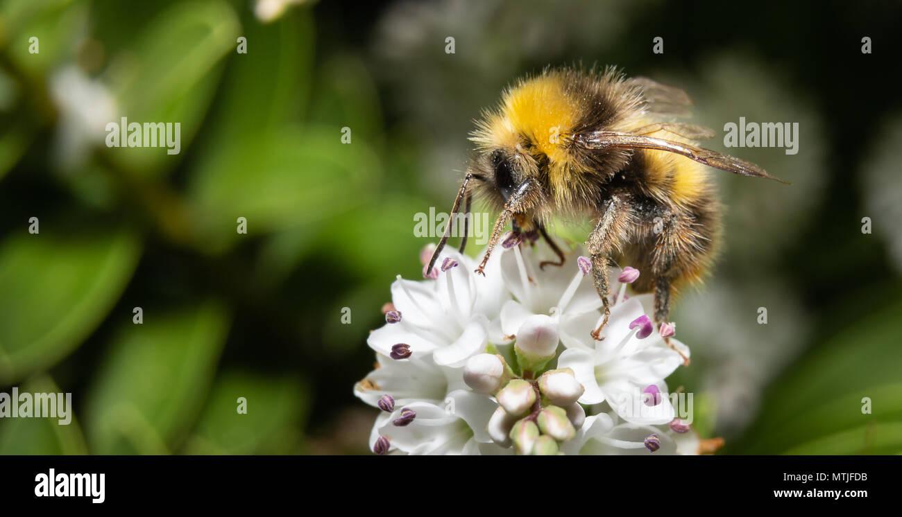 outlet store 67390 57e03 Hummel bestäubt weiße Blumen Makro Stockfoto, Bild ...