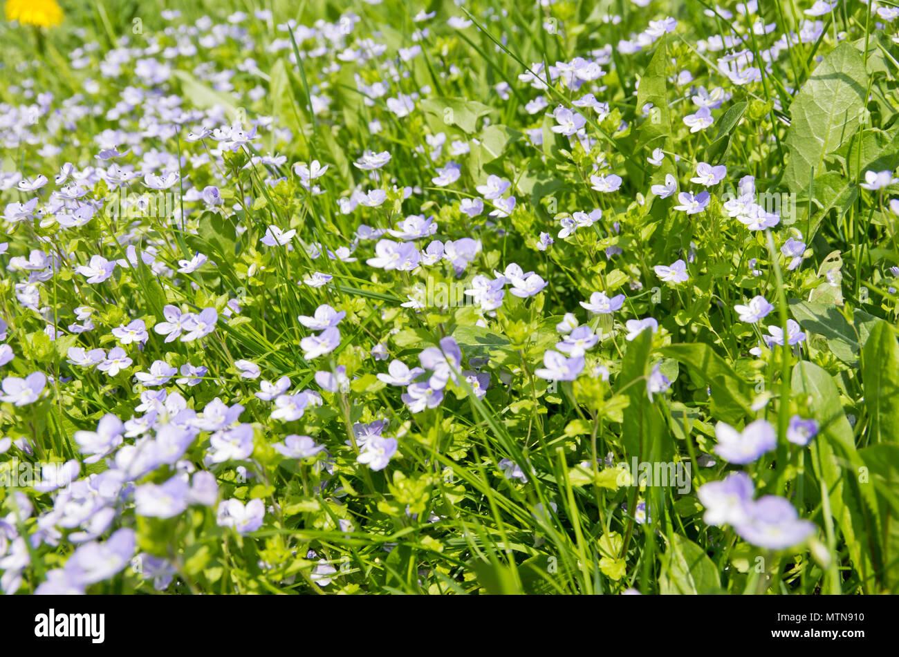 Wiese voller Blumen und Gras im Frühling. Stockbild