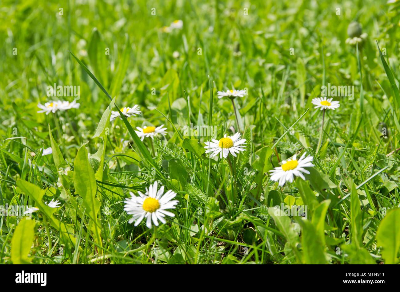 Gänseblümchen auf einer Wiese im Frühling. Stockbild