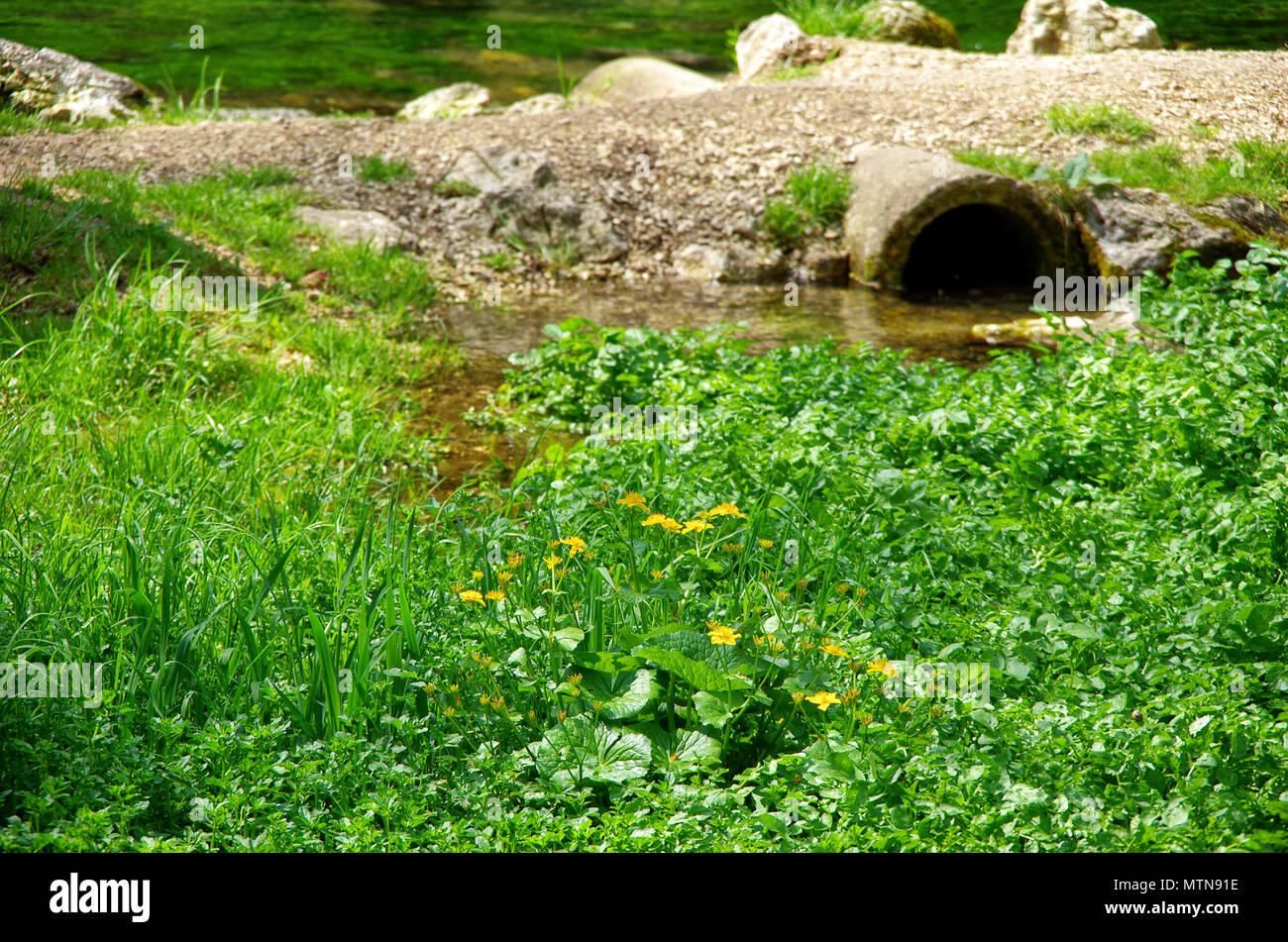 Marsh Ringelblumen im typischen Lebensraum. Stockbild