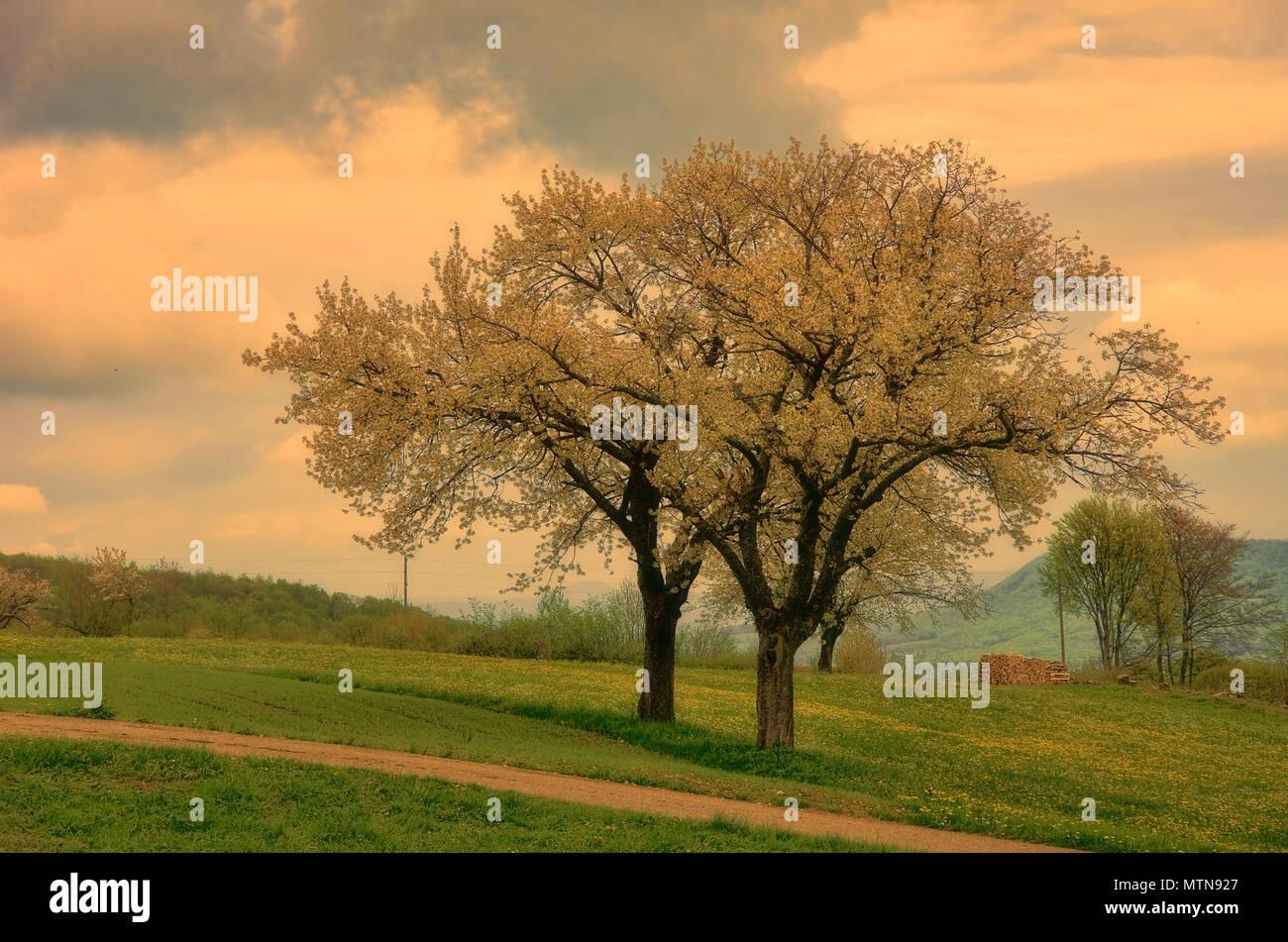Obstbäume voll blühender erscheinen in ein seltsames Licht. Stockbild