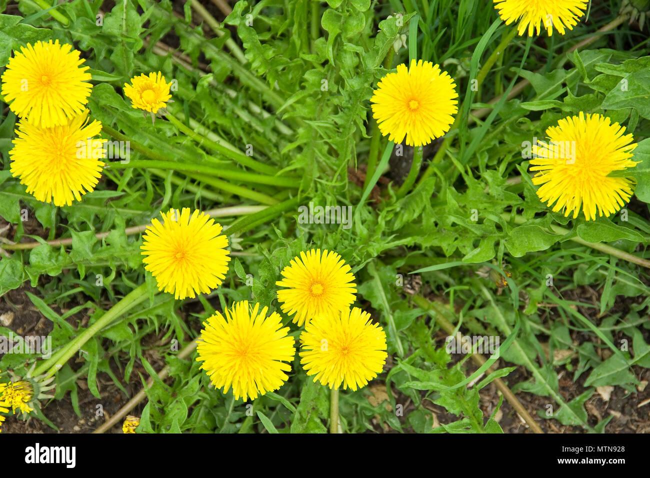 Blühenden Löwenzahn, Taraxacum officinale. Stockbild
