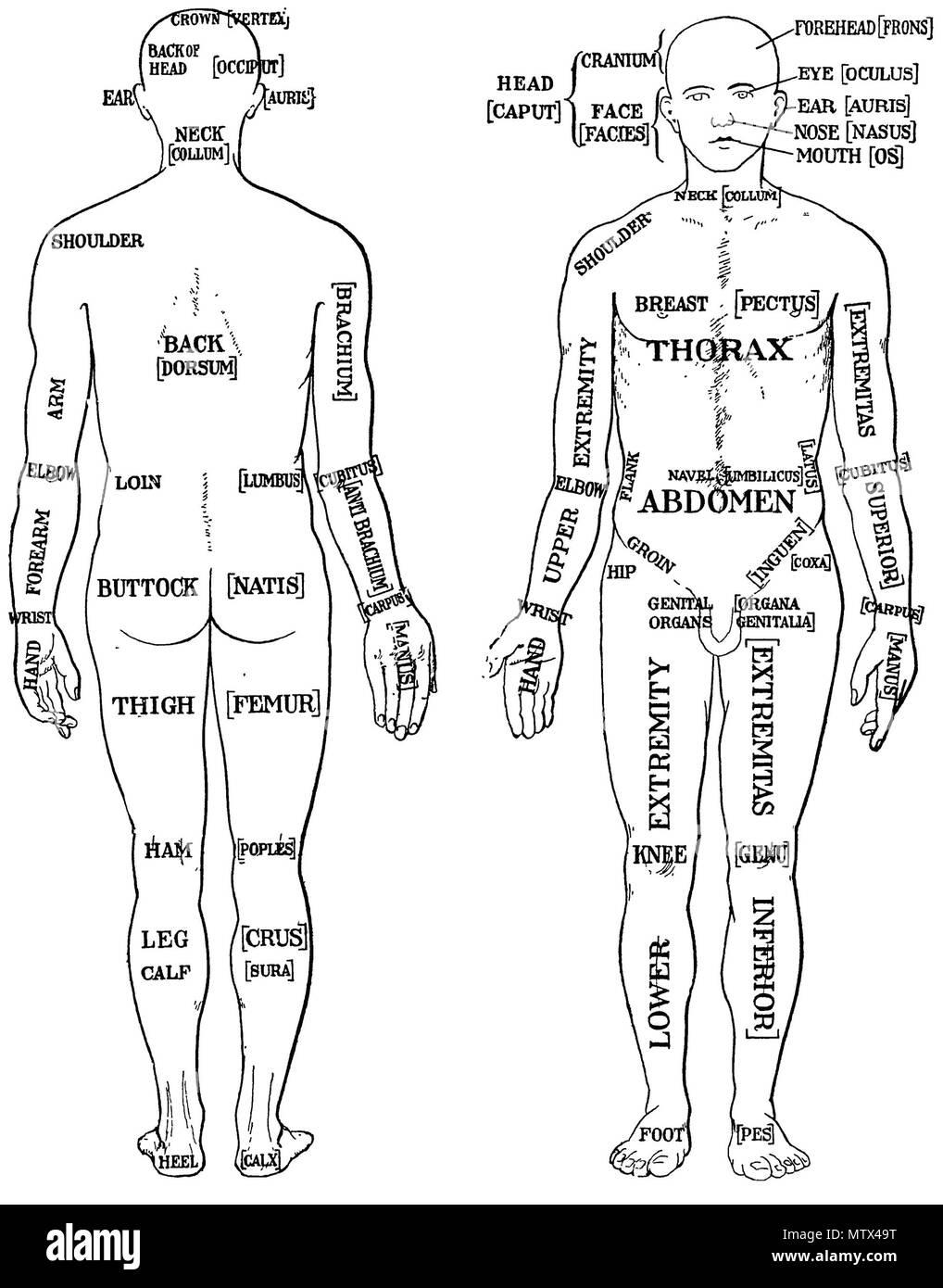 Ziemlich Interne Teile Des Körpers Bilder - Anatomie Ideen - finotti ...