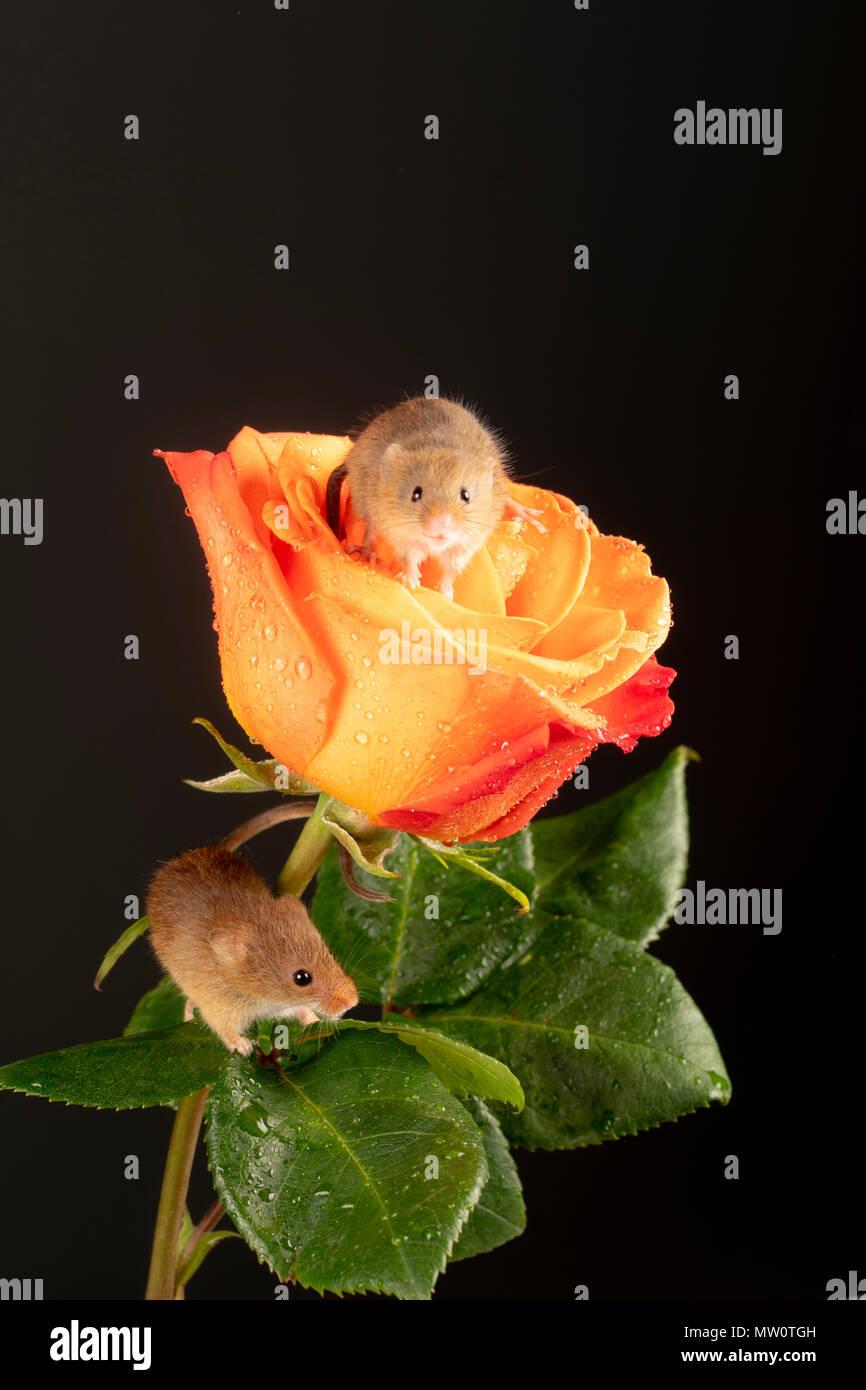 Ernte Maus macht es sich bequem auf eine Rose Stockbild