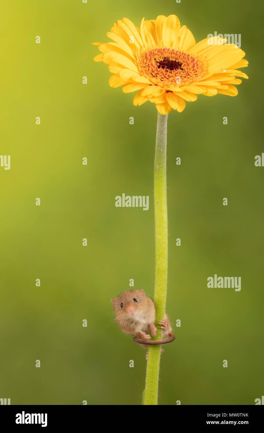 Ernte Maus klettern auf eine gelbe Gerbera auf ein Studio Hintergrund Stockbild