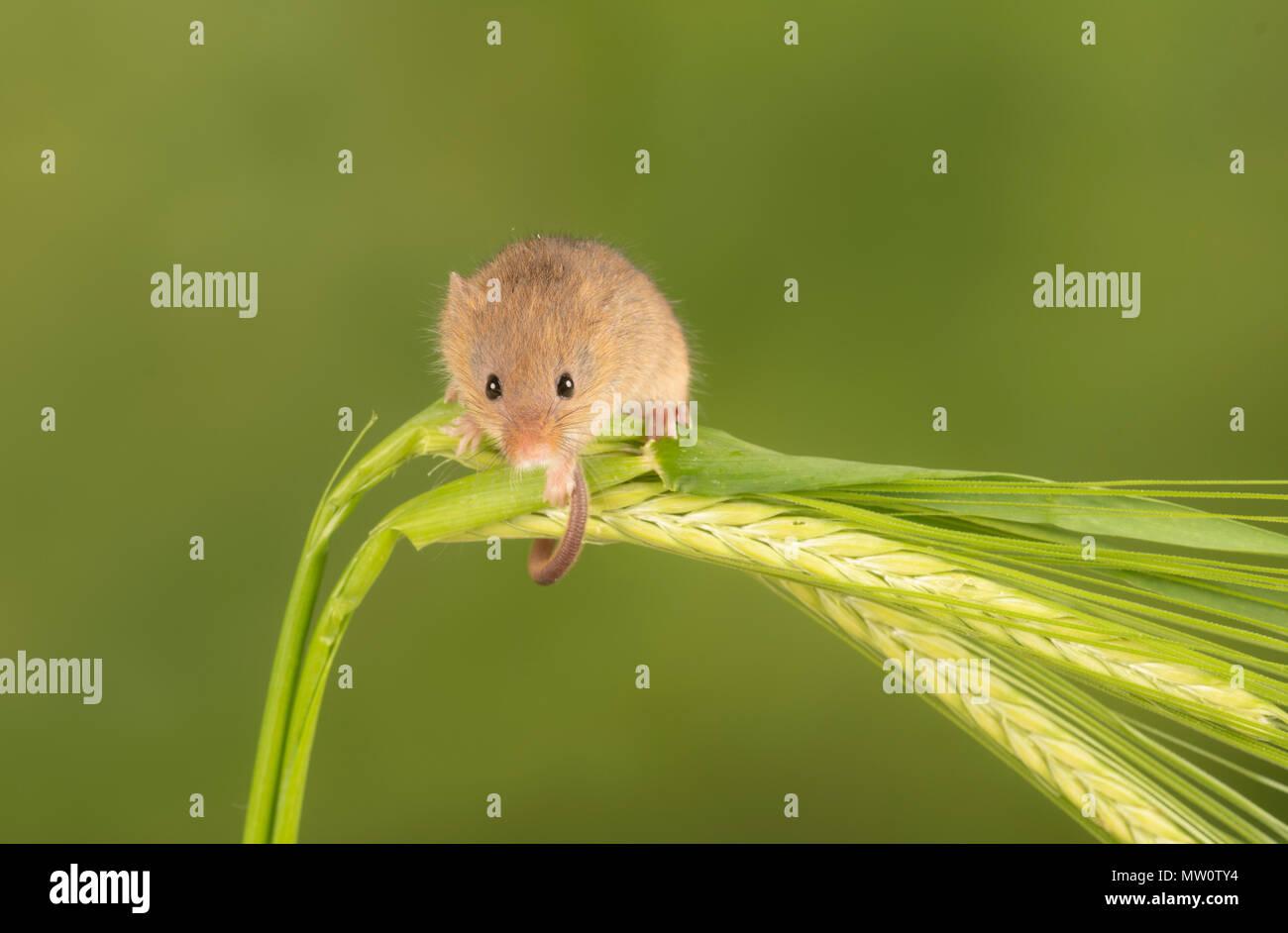 Ernte Maus klettern auf grashalme Stockbild