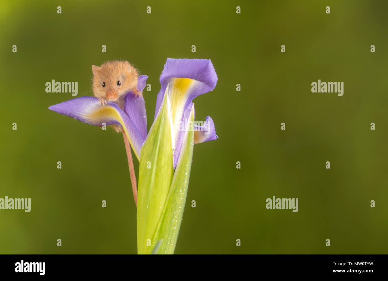 Eine Ernte Maus klettern auf einem violetten Iris Stockbild