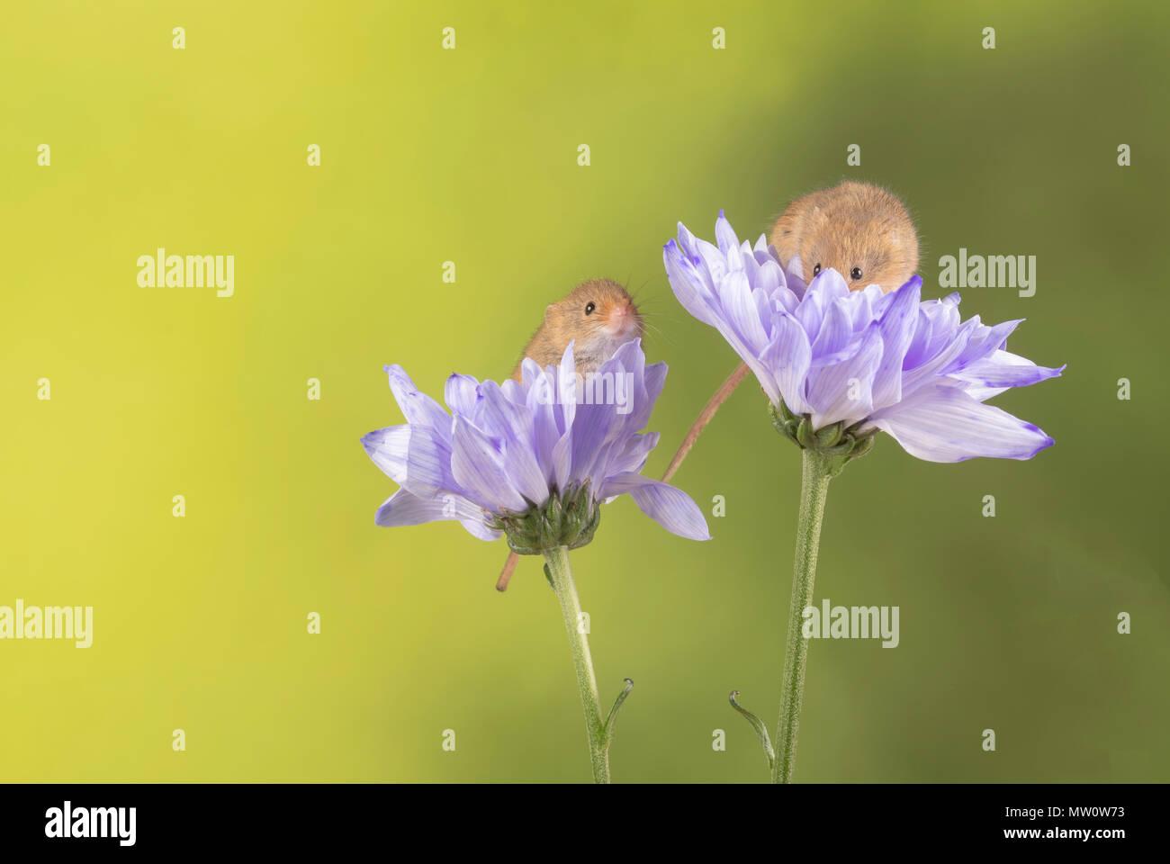 Ernte Mäuse auf einem lila Chrysantheme in s studio Einstellung Stockbild