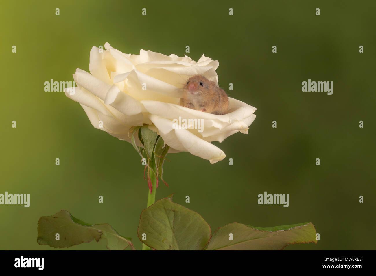 Havest Maus auf eine weiße Rose in einem Studio Hintergrund Stockfoto