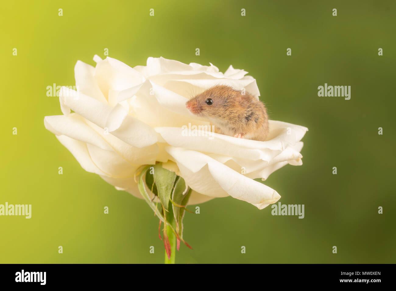 Havest Maus auf eine weiße Rose in einem Studio Hintergrund Stockbild