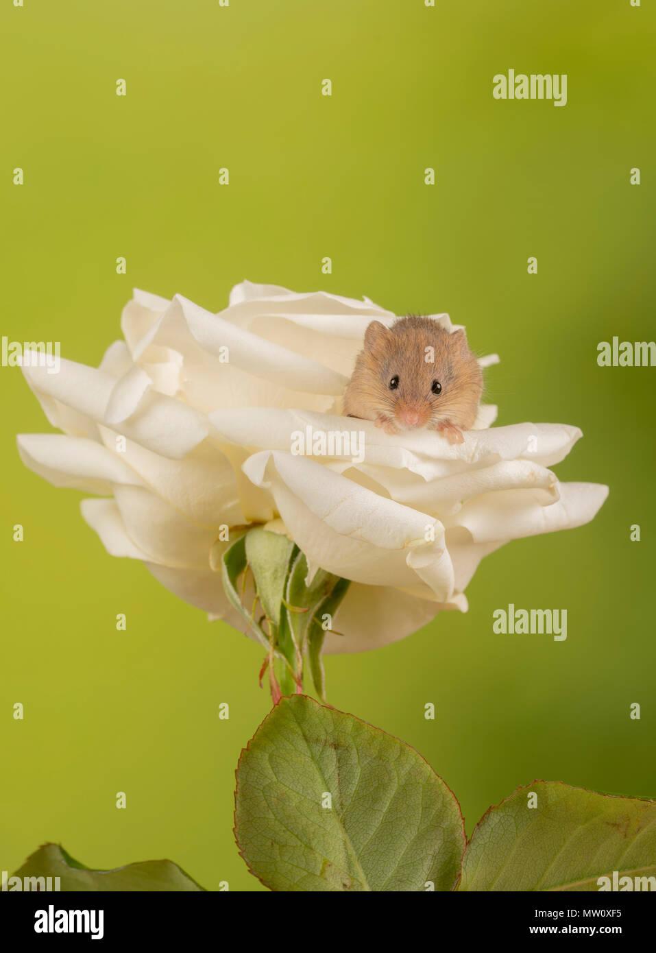 Ernte Maus macht es sich bequem auf eine Rose Stockfoto