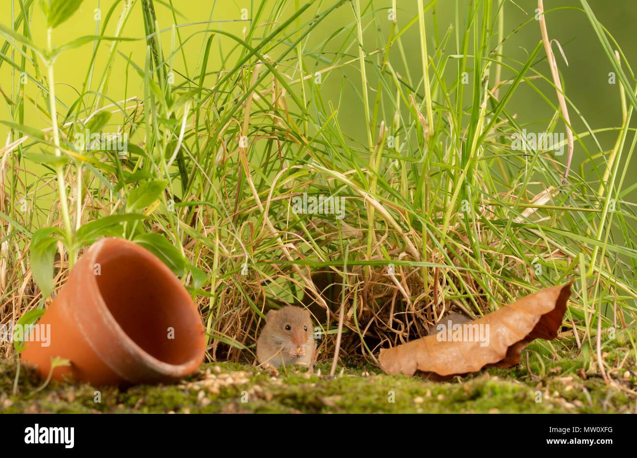 Wild harvest Maus Futter für Saatgut Stockbild