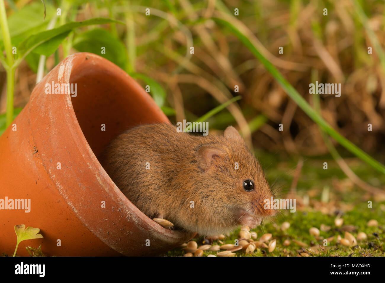 Kleine Ernte Maus auf Moss Stockbild