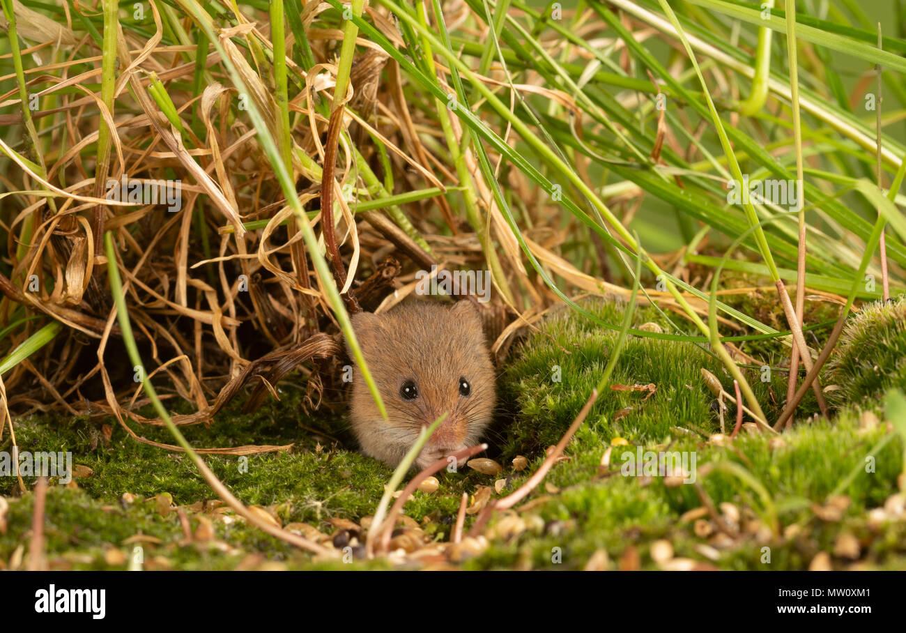 Kleine Ernte Maus auf Moss samen Essen Stockbild