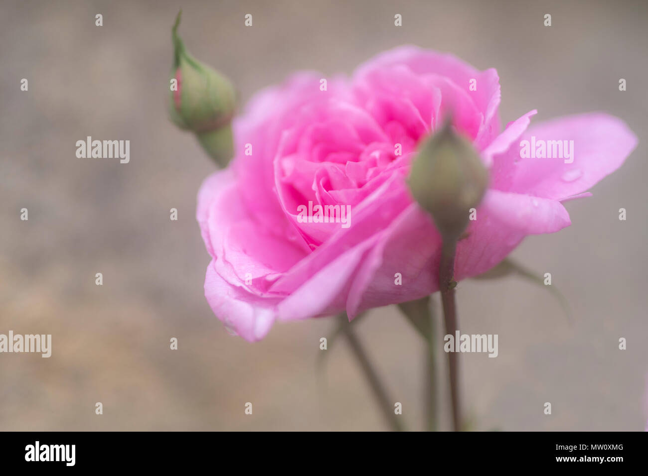 Ein pink peony Rose wächst eine Wand Stockbild