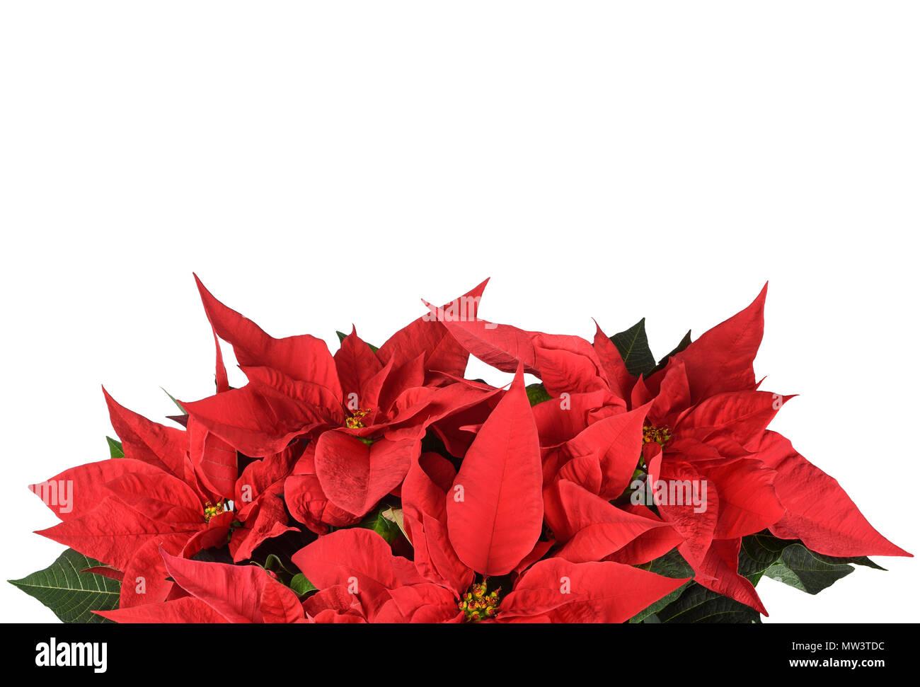 Weihnachtsstern Blumen auf weißem Hintergrund Stockfoto, Bild ...