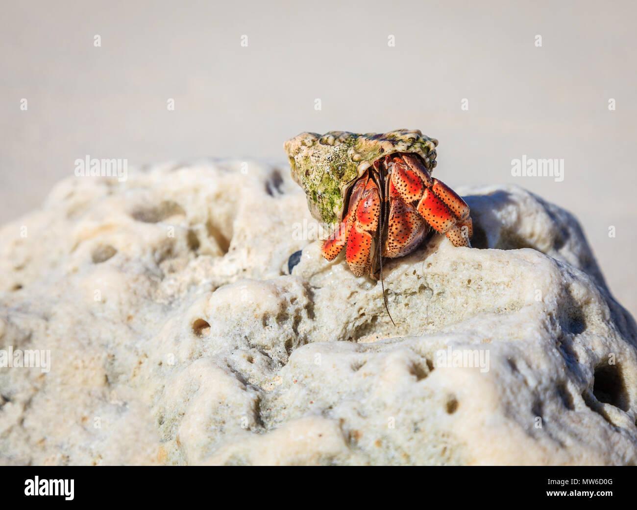 Einsiedlerkrebs ergibt sich aus seine Schale auf einem Strand in Britische Jungferninseln Stockbild