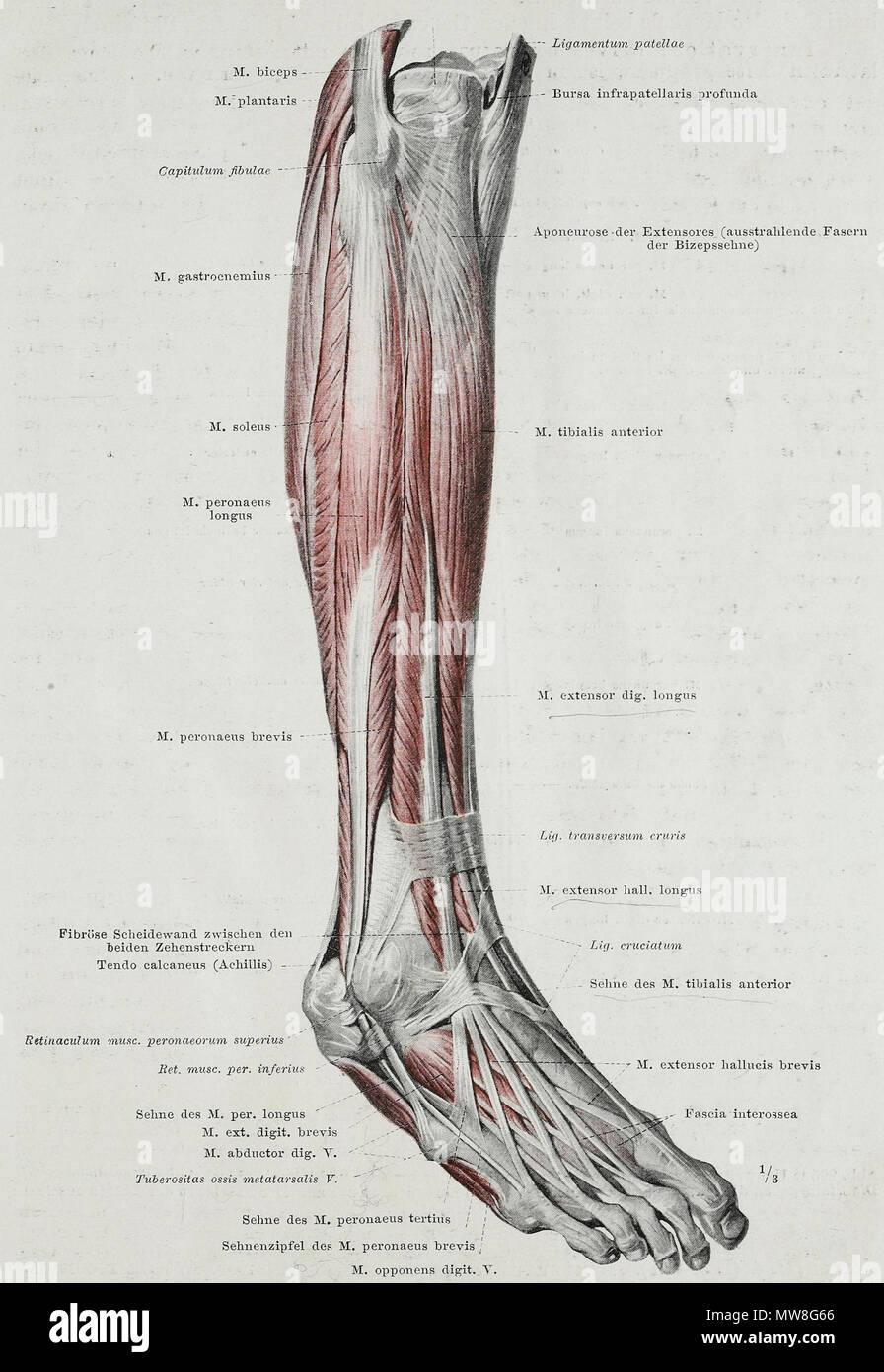 Englisch: Eine anatomische Abbildung kann von der deutschen Ausgabe ...