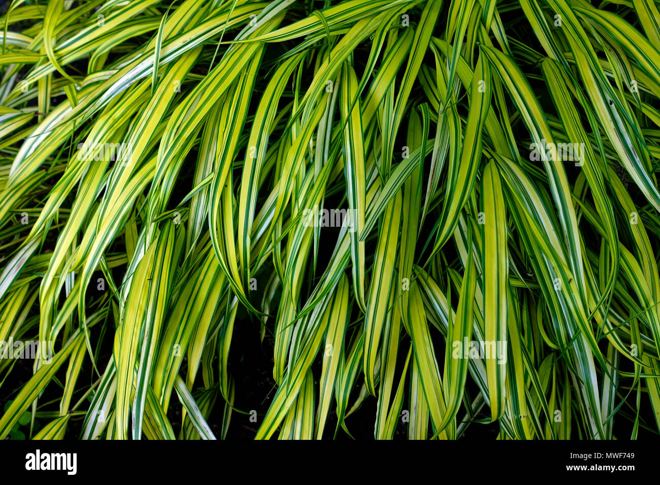 Hakonechloa macra 'Aureola', Hakone Gras oder Japanischen Wald Gras Stockbild