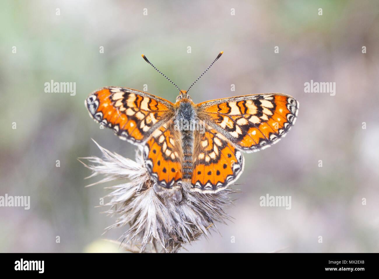 {Schmetterling Euphydryas desfontainii), Flügel geöffnet. Stockbild